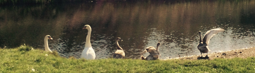 Swans by River Trent